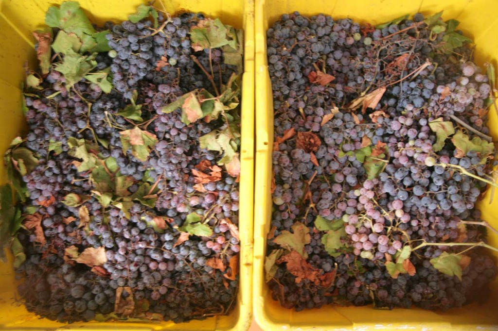 giant bins of grapes!